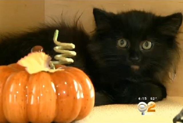 pumpkin-kitten