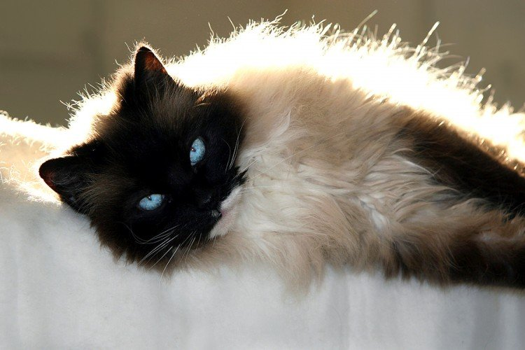 Ragdoll Cats: One of The Most Adorable Cat Breeds