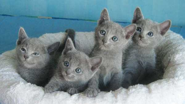 Before Choosing a Russian Blue Kitten, What Should you Be ...