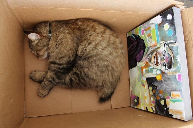 House Cat American Bobtail