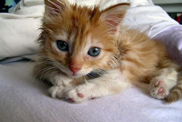 Orange Tabby Kitten