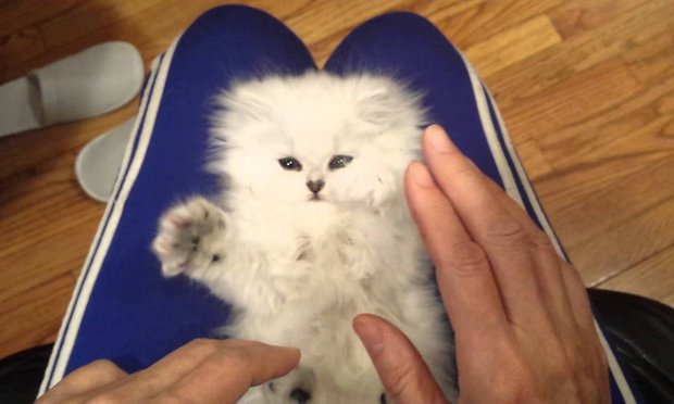 Internet Says This May be the Fluffiest and Cutest Ticklish Persian Kitten in the World