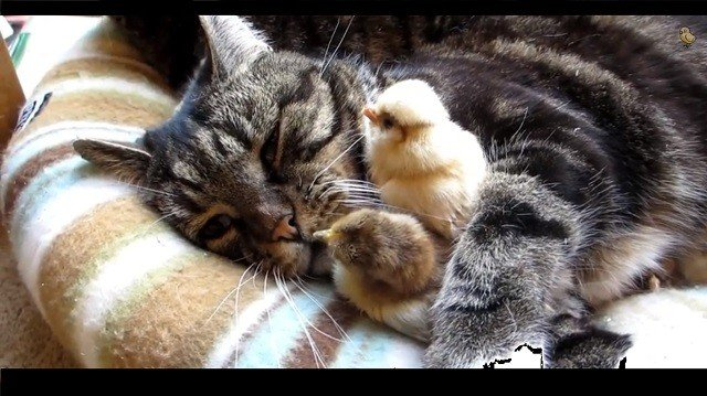 awesome video of cats hugging little chicks