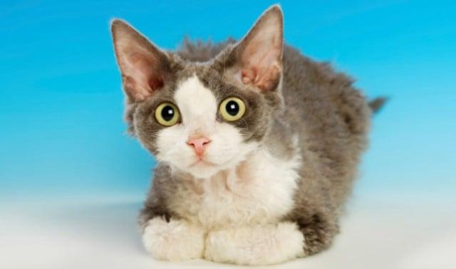 Cat Rescue Devon Rex