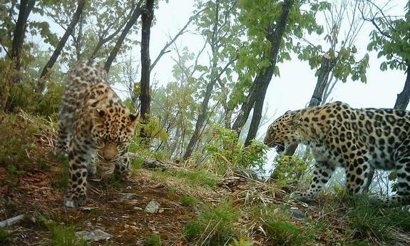 The Rarest Big Cat on Earth is Starting to Make a Comeback