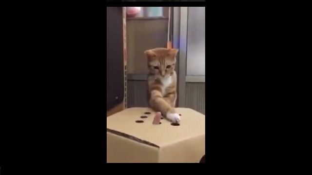 """Adorably Cute Kitten Plays Human Version of """"Whac-a-mole"""""""