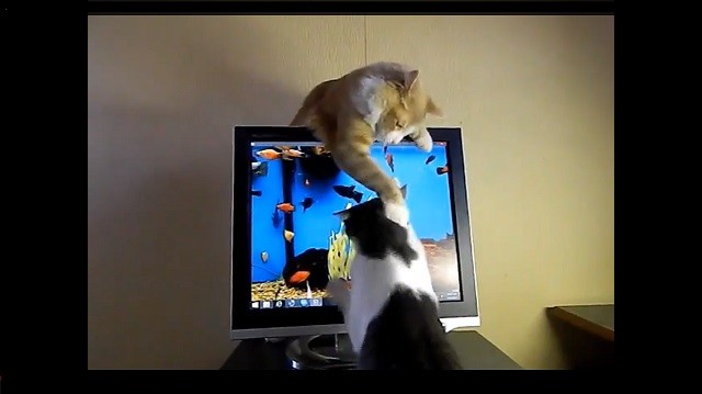 Sibling Cats Keep Fighting Over A Fish Screen Saver Kittentoob