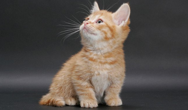 People are Breeding Cats to Have Super Short Legs