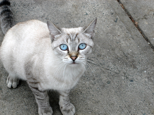 10 Of The Youngest Cat Breeds In Existence