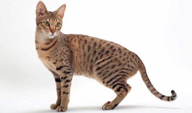 persian cat breeders in florida
