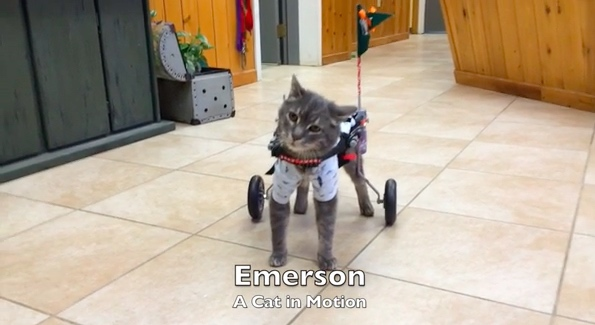 Rescued Cat Gets Fitted with a Wheelchair and Brightens Everyone's Day