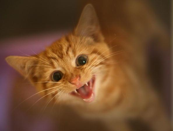 20 Amazing Photos of Kittens Yawning