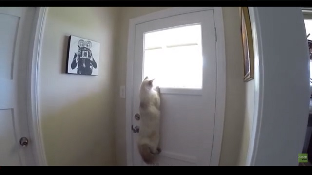 Cat Figures Out a Really Clever Way to Look Outside
