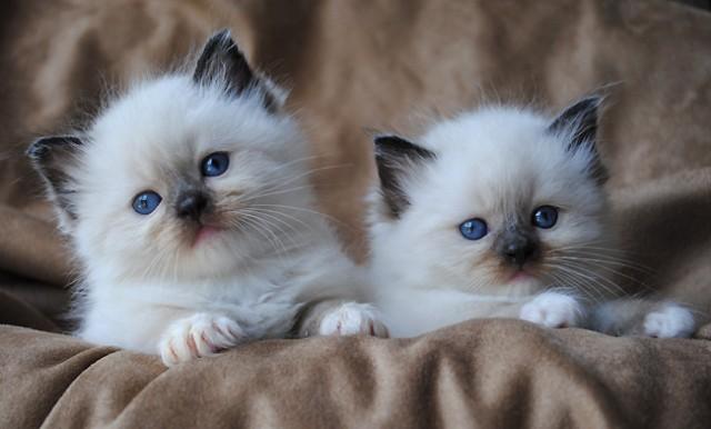 norwegian forest cat breeders nc