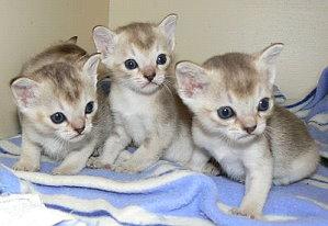 himalayan cat colors