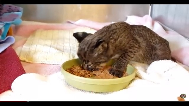 Bobcat Kitten Who Was Rescued from a Brush Fire is Doing Much Better
