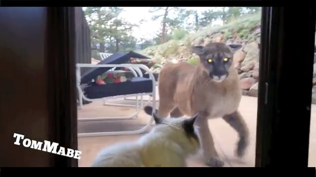 A Brave Housecat Who is Ready to Tangle with a Mountain Lion