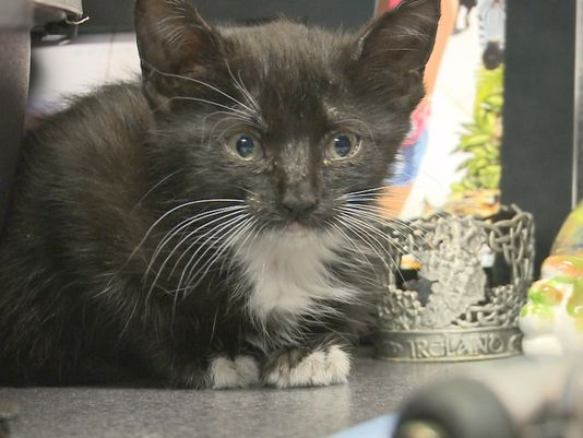 Kitten Who is Rescued from a Prius Finds Forever Home