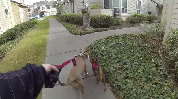 A Bengal Cat and Pit Bull Love Going on Walks Together