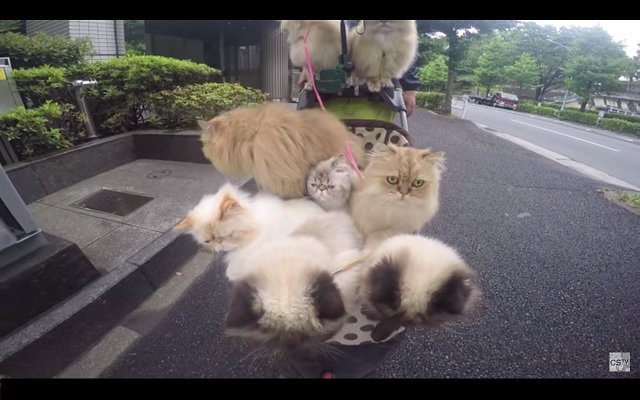 Watch The Cat Man Of Tokyo Pushing His 9 Cats In A Stroller Every Day