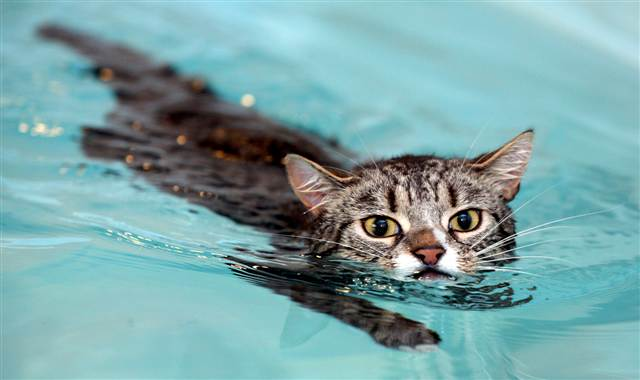 10 videos featuring cats who love to swim