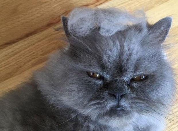 #TrumpYourCat reveals cats with Donald Trump hair - TODAY.com