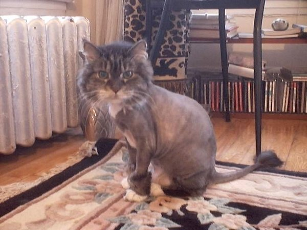 20 Cats With Hilarious Hair Styles