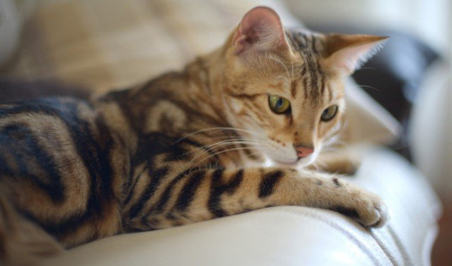 Bengal Cat Breed What You Need To Know