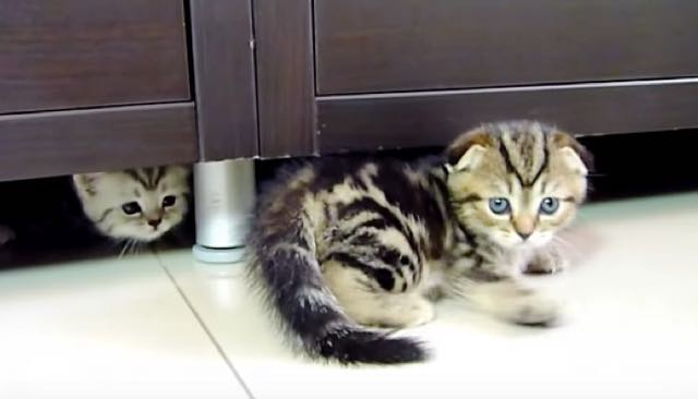 Watch This Scottish Fold Kitty Practicing His Ninja Moves
