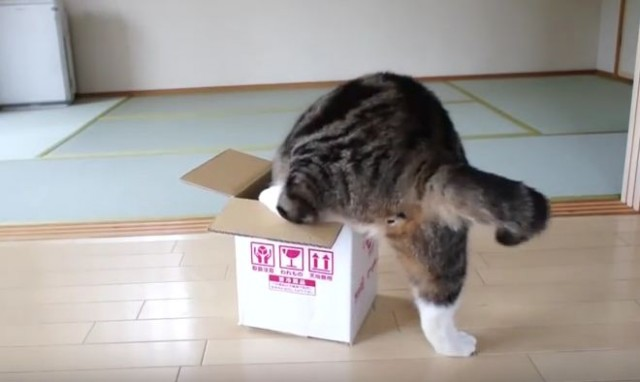 Maru the Cat Really Loves Boxes