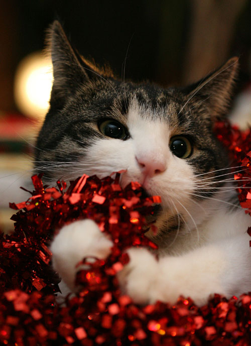 20 Adorable Cats That are Ready for Christmas