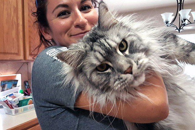 The 20 Cutest Maine Coon Cat Videos of All-Time