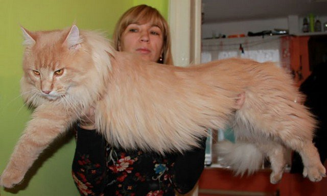 20 Maine Coon Cats That Will Make Your Cat Look Tiny