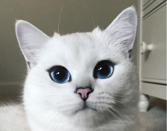 You Have to See The British Shorthair With the Most Amazing Eyes