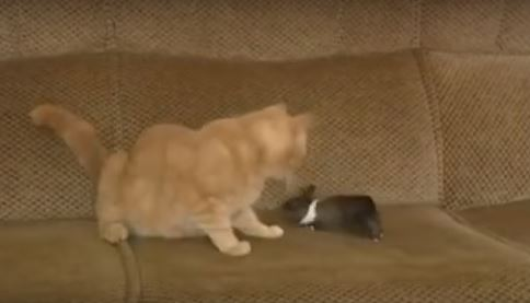 Motherly Cat Cares for Orphaned Baby Bunny As Her Own