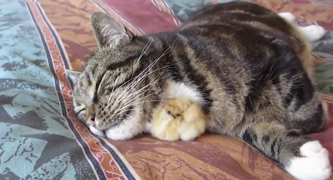 Watch This Baby Chick and His Cat Friend As They Bond