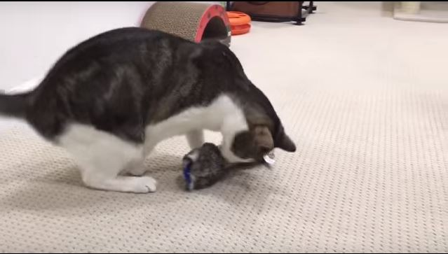 Watch This Cat Show His Toy Who is Boss