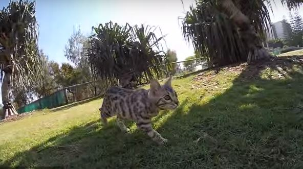 Watch This Cat Jump Over His Dog Because It's Awesome
