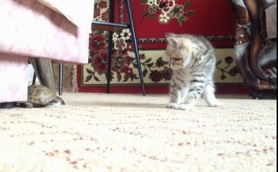 What Happens When a Kitten Meets a Turtle?