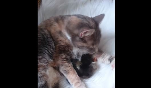 Wonderful Cat Takes Two Baby Ducks Under Her Wing