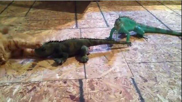 Iguana and Cat Fight Over Love Interest and It's Hilarious