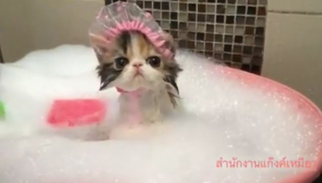 A Daily Dose Of Happy A Kitten In A Shower Cap