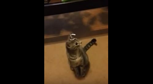 Watch This Cat Try and Hilariously Get Something Off His Head