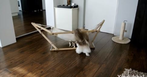 Timo the Cat Has A Difficult Time With His Hammock