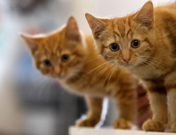 Alaska Town to Propose Cat Leash Law in October