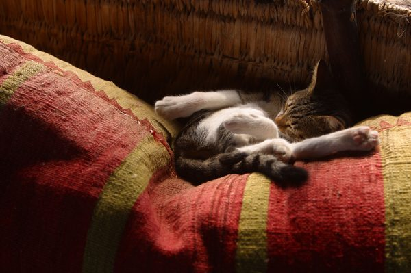 What Is the Right Dosage of Benadryl for Cats?