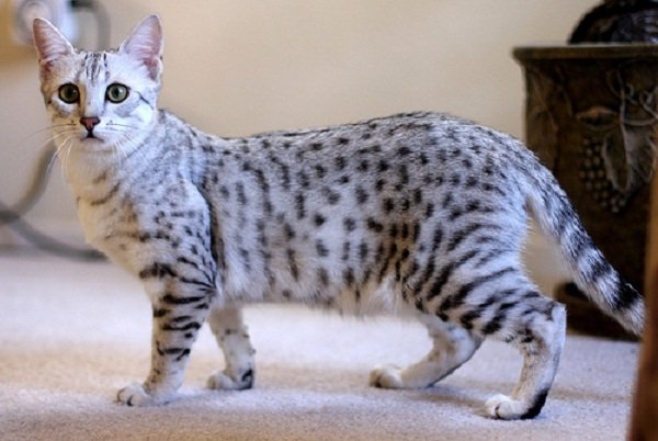 10 Things You Didn't Know about the Egyptian Mau