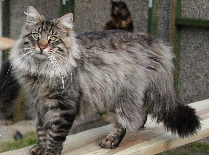 10 Things You Didn't Know about the Norwegian Forest Cat