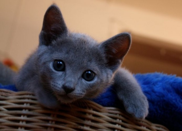 10 Things You Didn T Know About The Russian Blue Cat
