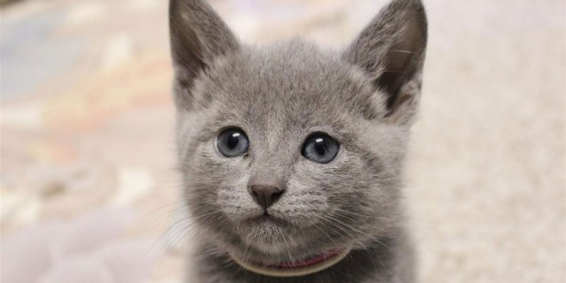 20 Fun Facts You Didn't Know about Russian Blue Cats